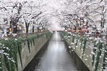 目黒川桜.jpg